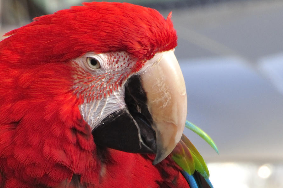 Eye Of The Parrot 13671 Photograph