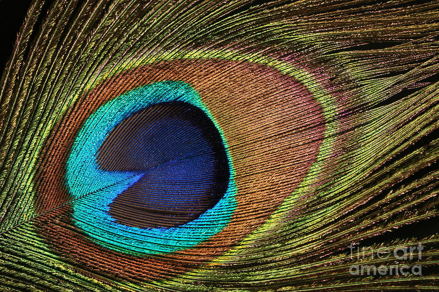 Eye Of The Peacock Photograph
