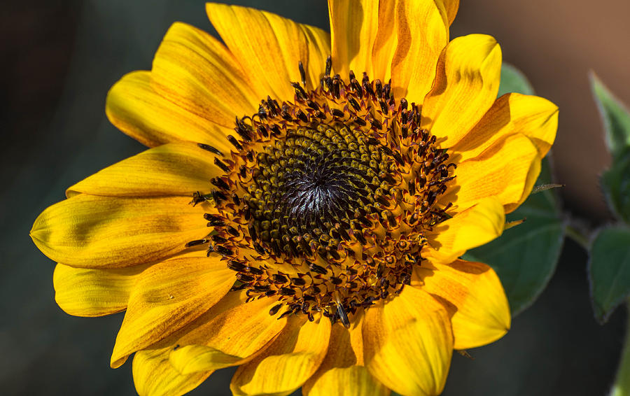 Sunflower Photograph - Eye Of The Sun by Michael Moriarty