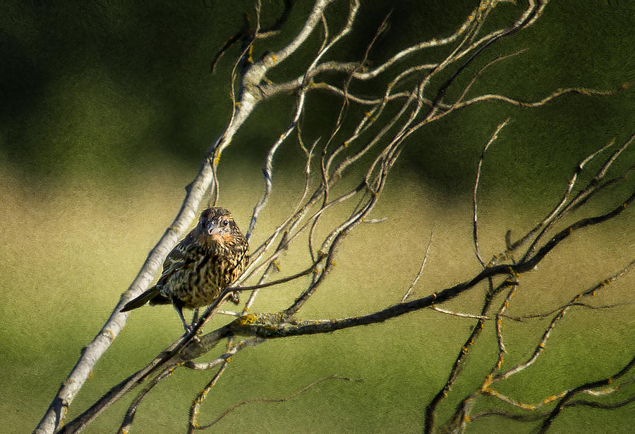 Song Sparrow Photograph - Eye On The Sparrow by Belinda Greb