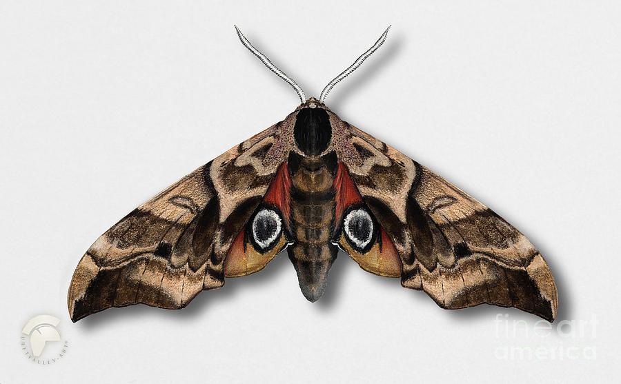 Eyed Hawk-moth Smerinthus Ocellata - Sphinx Demi-paon - Sphinx Ocelle - Esfinge Ocelada - Semipavon Painting