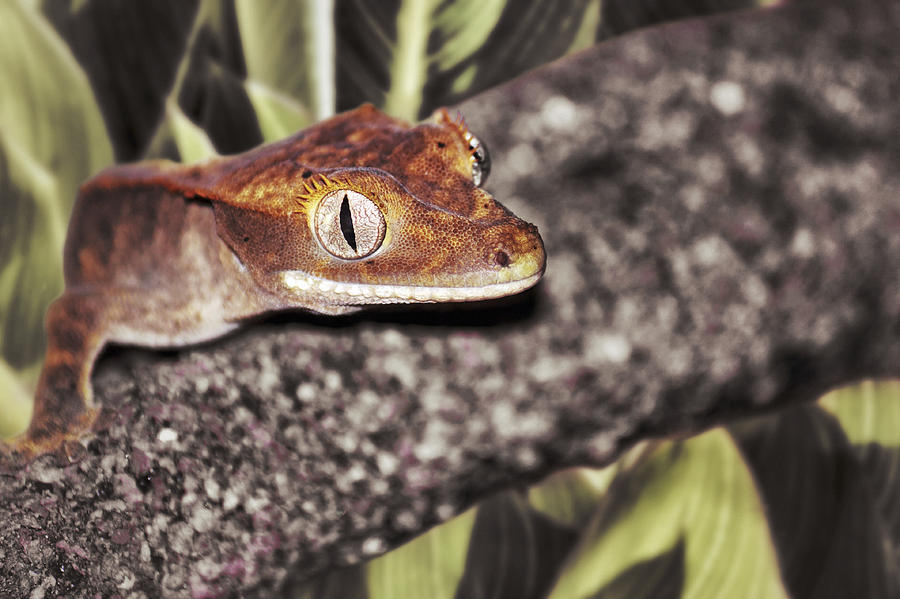 Eyelash Crested Gecko Photograph By Jason Politte