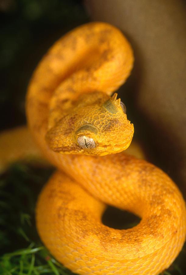 Eyelash Viper Photograph By Steve Cooper