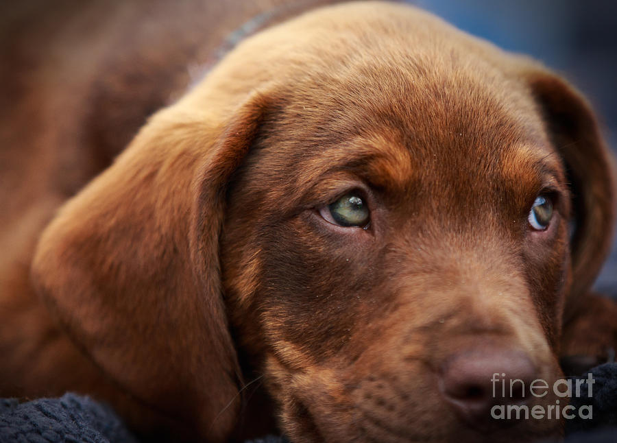 Chocolate Lab Photograph - Eyes Are The Window To The Soul by Mary Lou Chmura