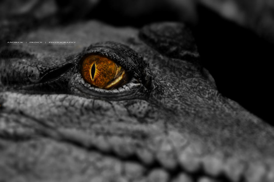 Crocodile Photograph - Eyes For You by Andrew Prince