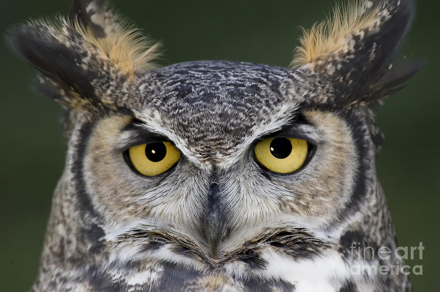 Owl Photograph - Eyes For You by Wildlife Fine Art