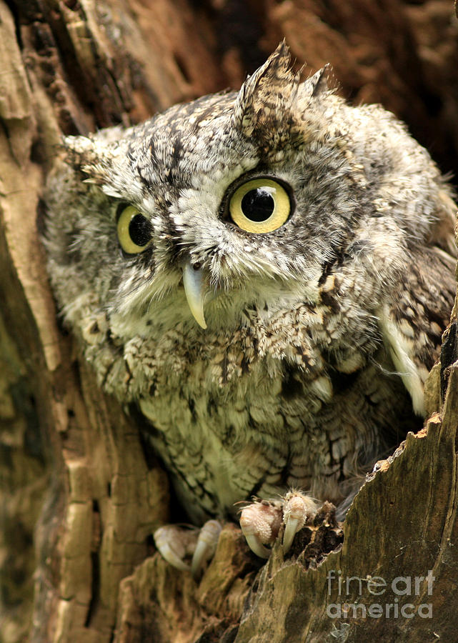 Screech Owl Photograph - Eyes Of Wisdom Eastern Screech Owl In Hollow Tree by Inspired Nature Photography Fine Art Photography
