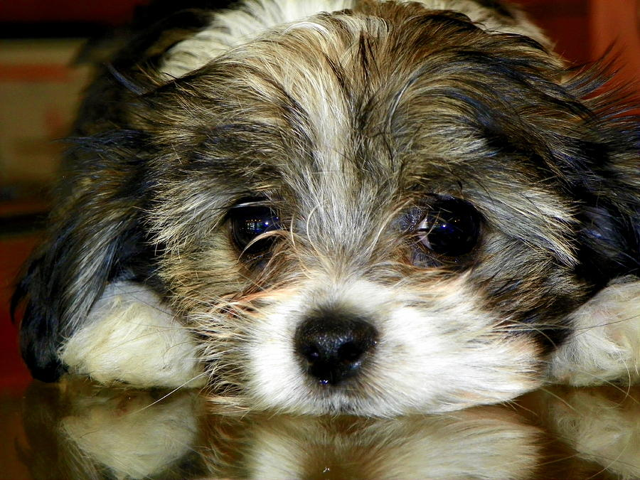 Puppies Photograph - Eyes On You by Karen Wiles