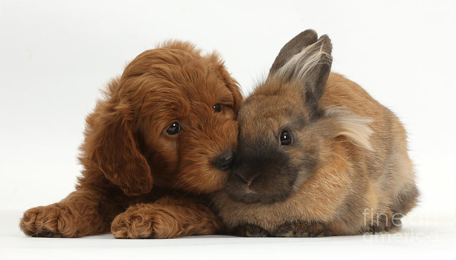 F1b Goldendoodle Puppy And Rabbit