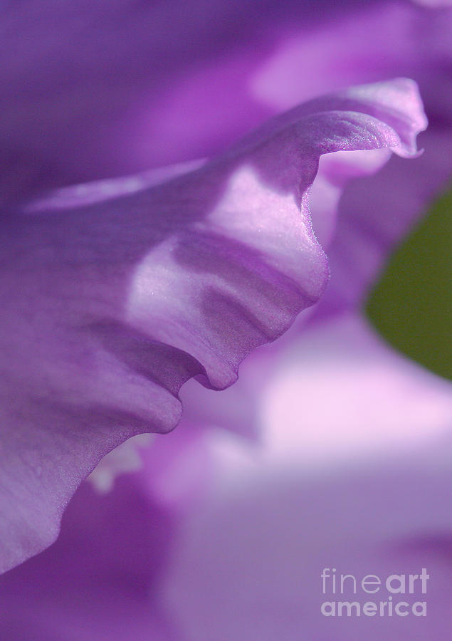 Flower Photograph - Face In A Glad  by Steve Augustin
