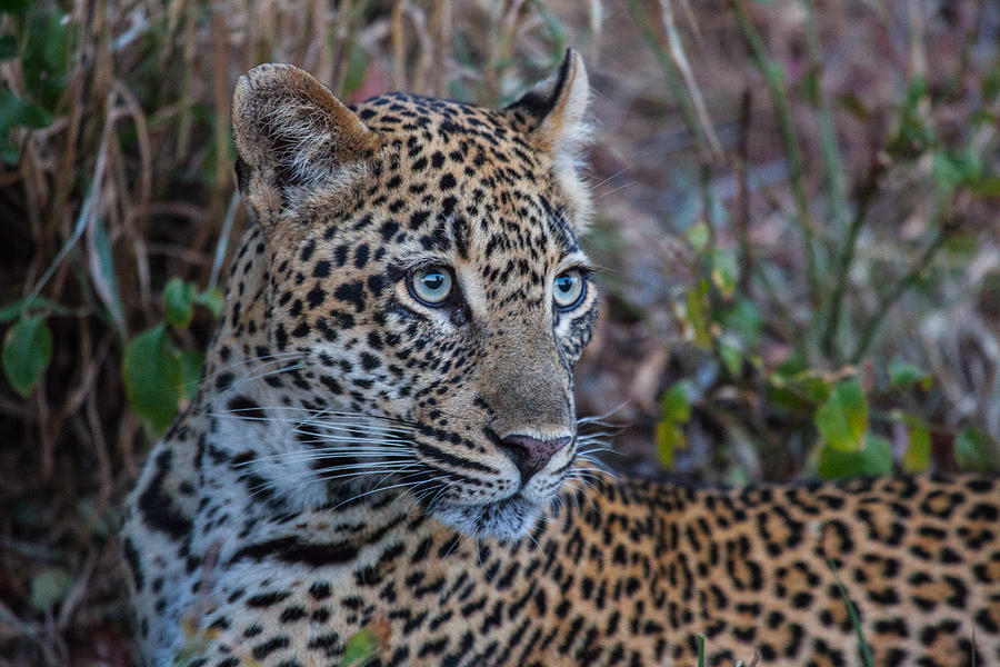 Africa Photograph - Face Of A Leapord by Craig Brown