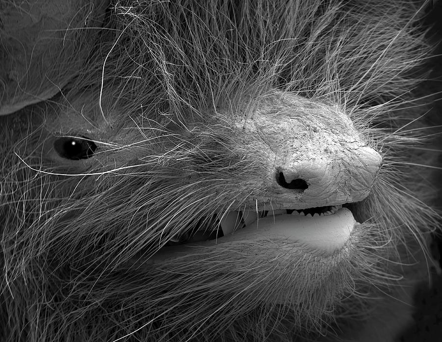 Animal Photograph - Face Of A Pipistrelle Bat by Steve Gschmeissner/science Photo Library