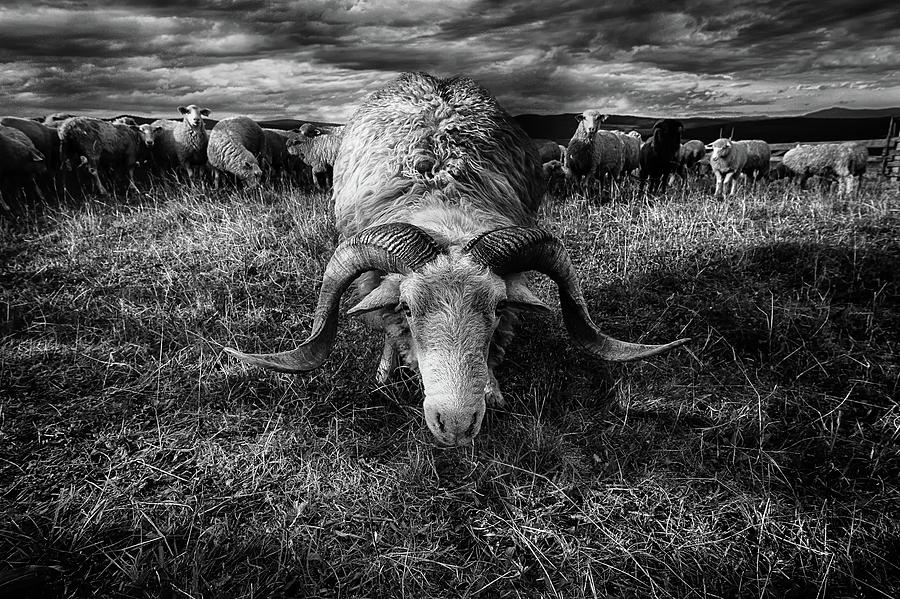 Ram Photograph - Face To Face by Peter Majkut