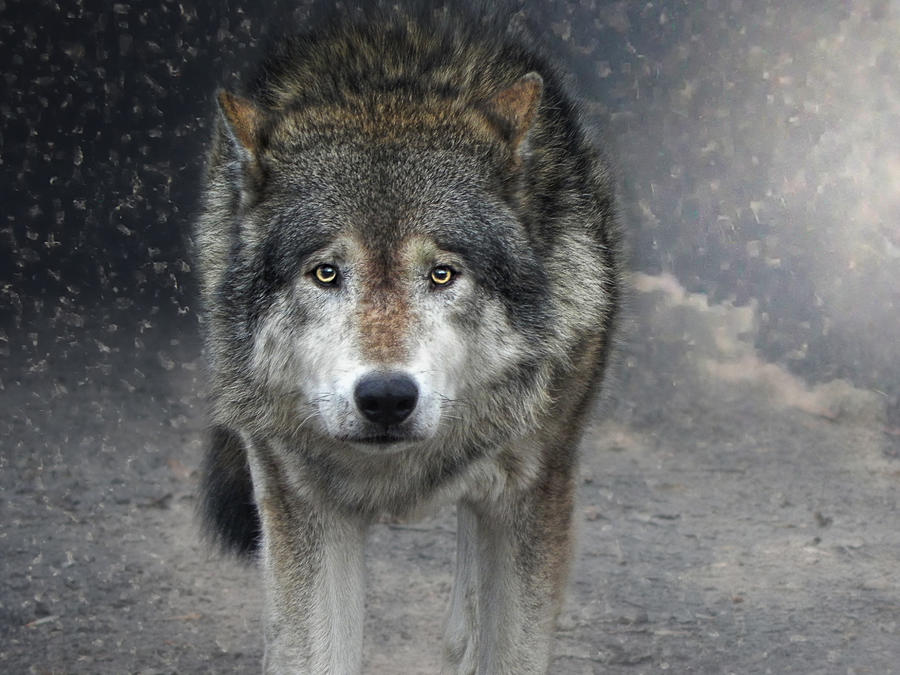 Face To Face With The Wolf Photograph