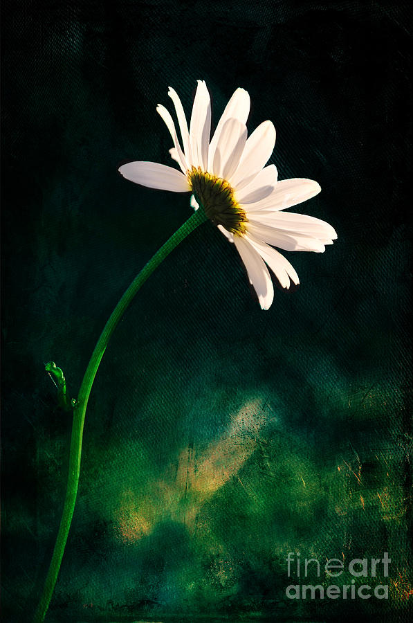 Leucanthemu_ Vulgare Photograph - Facing The Sun by Randi Grace Nilsberg