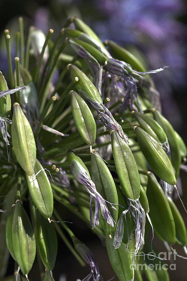 Green Photograph - Fading Agapanthus  by Joy Watson