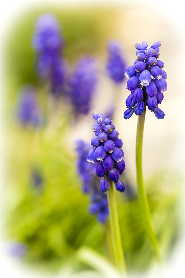 Grape Hyacinth Photograph - Fading by Caitlyn  Grasso