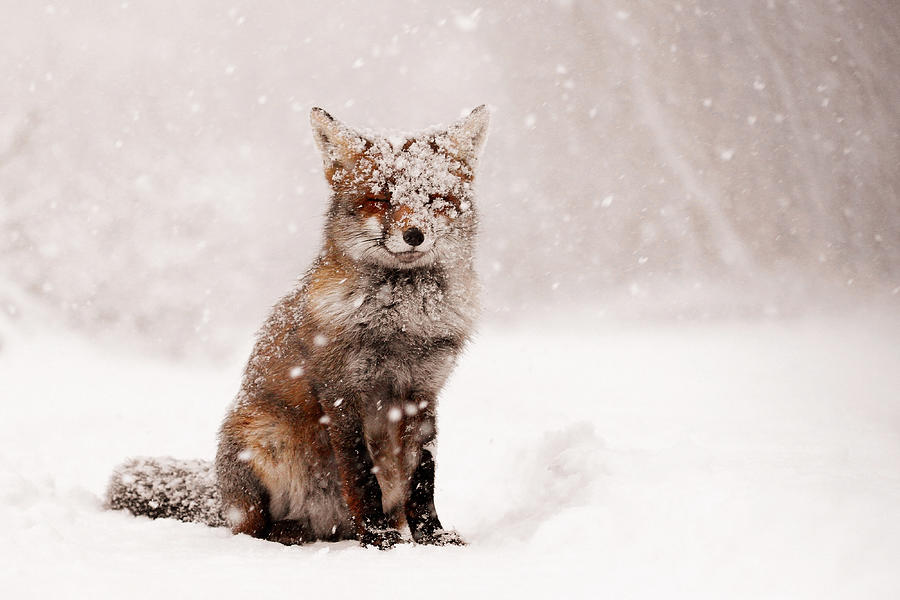 red fox in snow - photo #5