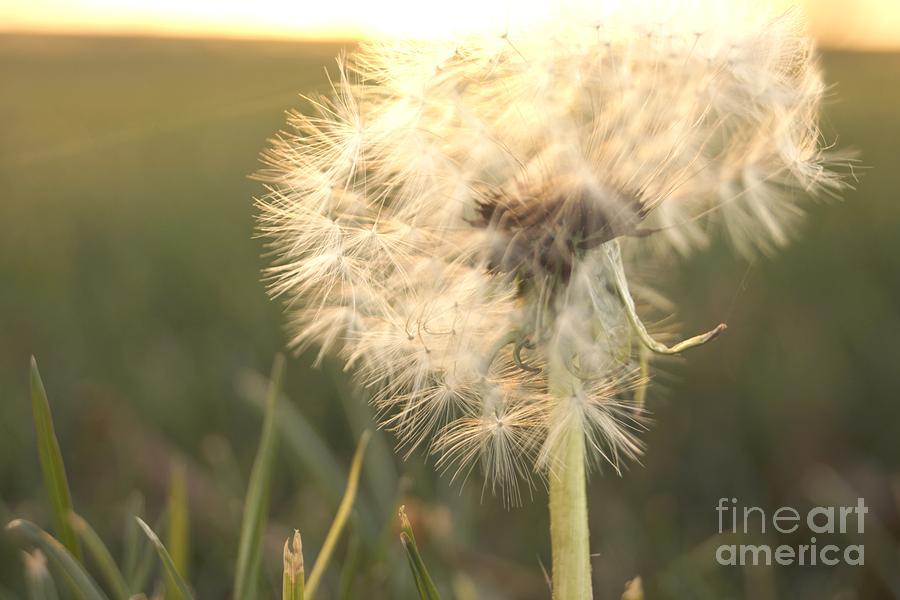 Dandelion Photograph - Faith by Kerri Mortenson