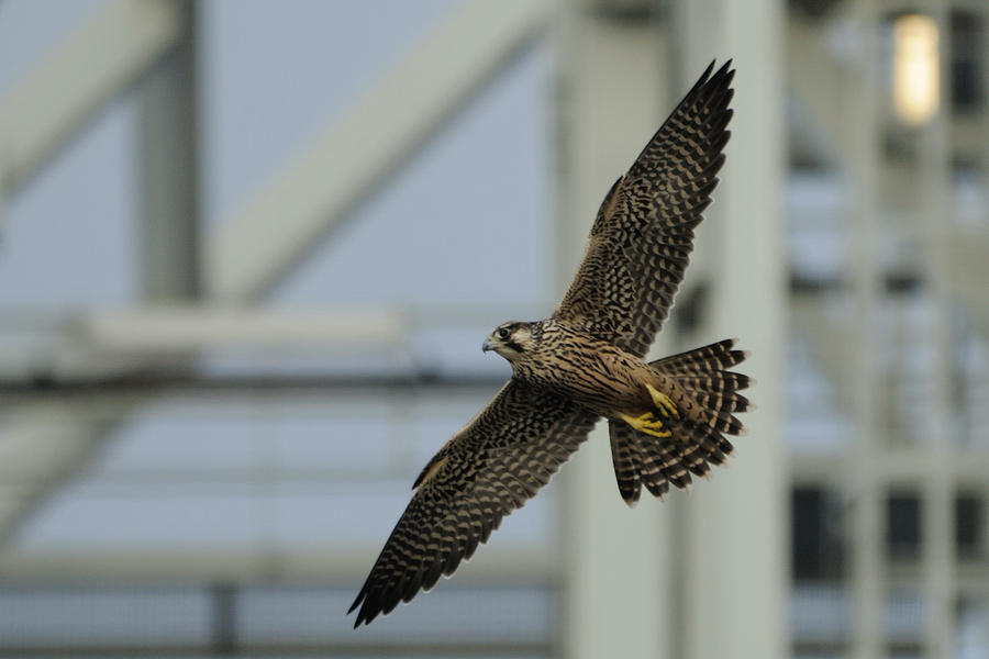 Peregrine Falcon Photograph - Falcon Flying By Tower by Bradford Martin