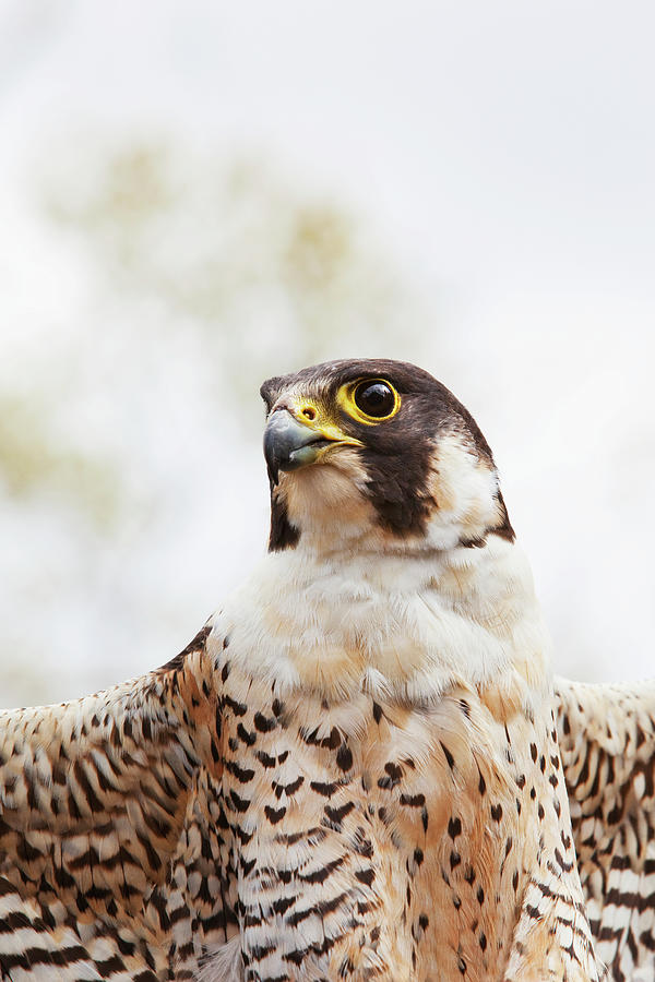 Falcon On The Look For Prey Photograph by Richard Wear / Design Pics