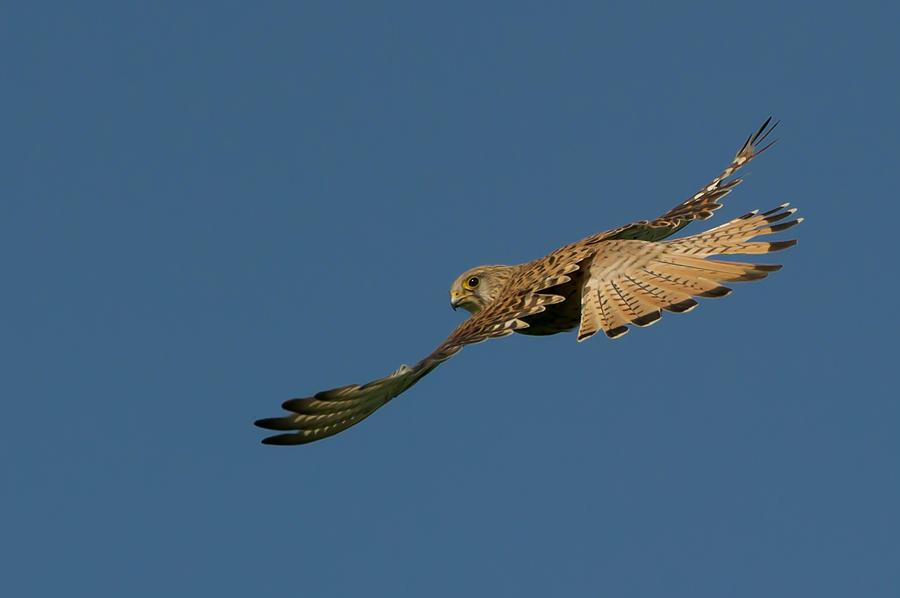 Falcon Photograph - Falcon by Torbjorn Swenelius