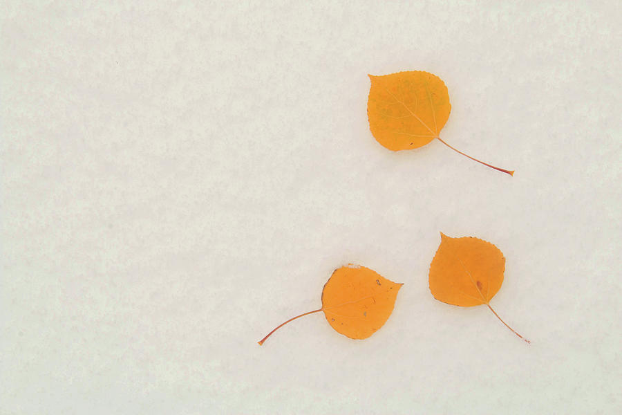 Fall Aspen Leaves On First Snow Photograph by David Epperson