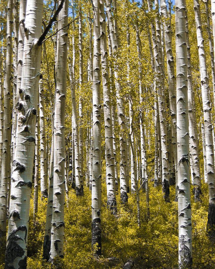 Aspen Photograph - Fall Aspens by Adam Romanowicz