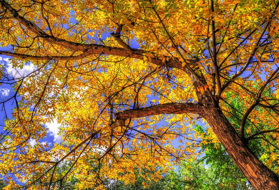 Fall Canopy 12167 Photograph