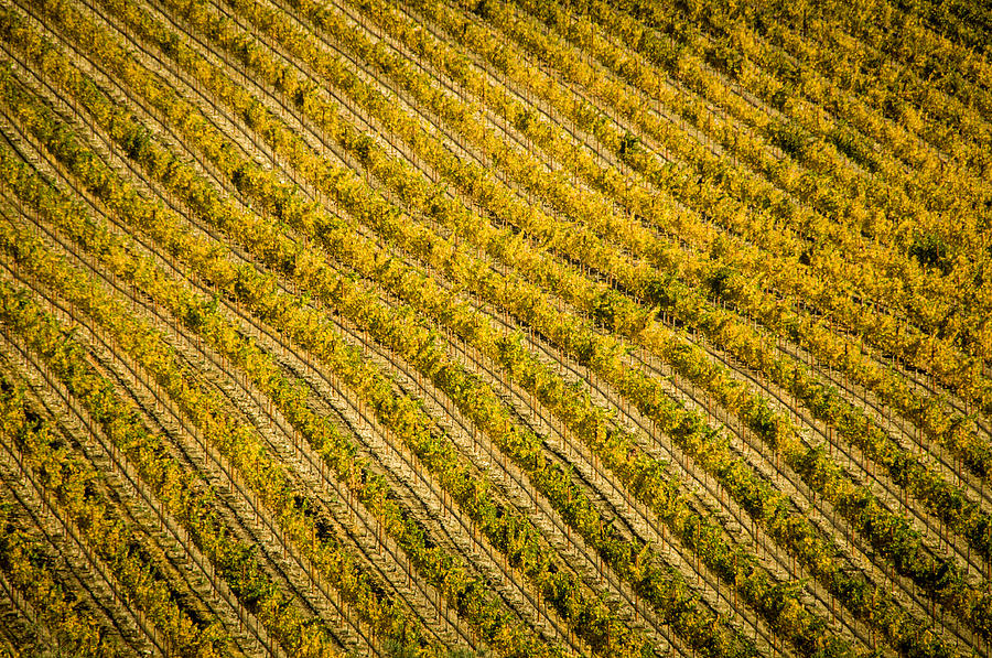 Agriculture Photograph - Fall Color Grape Vines by Connie Cooper-Edwards