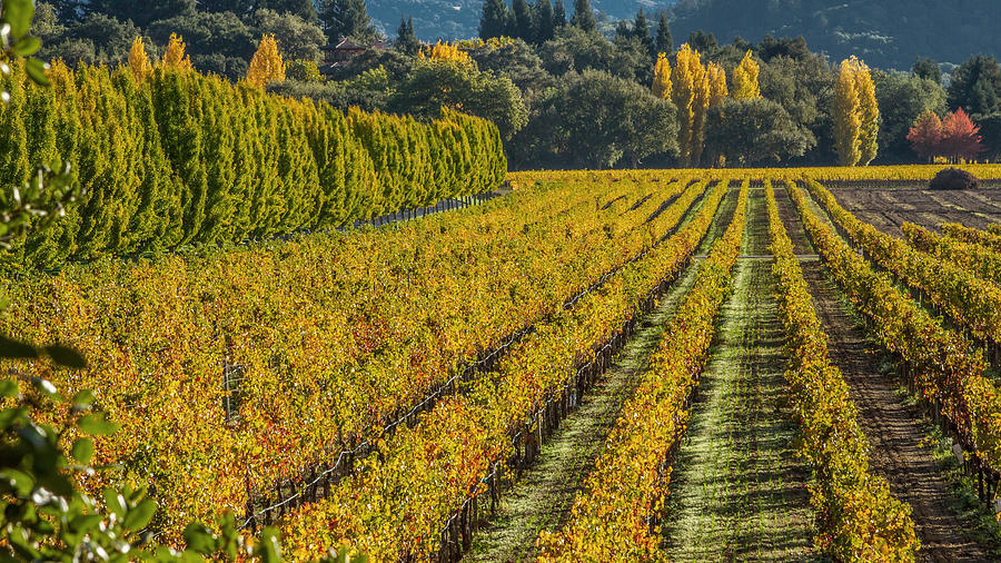Fall Color Napa Style Photograph