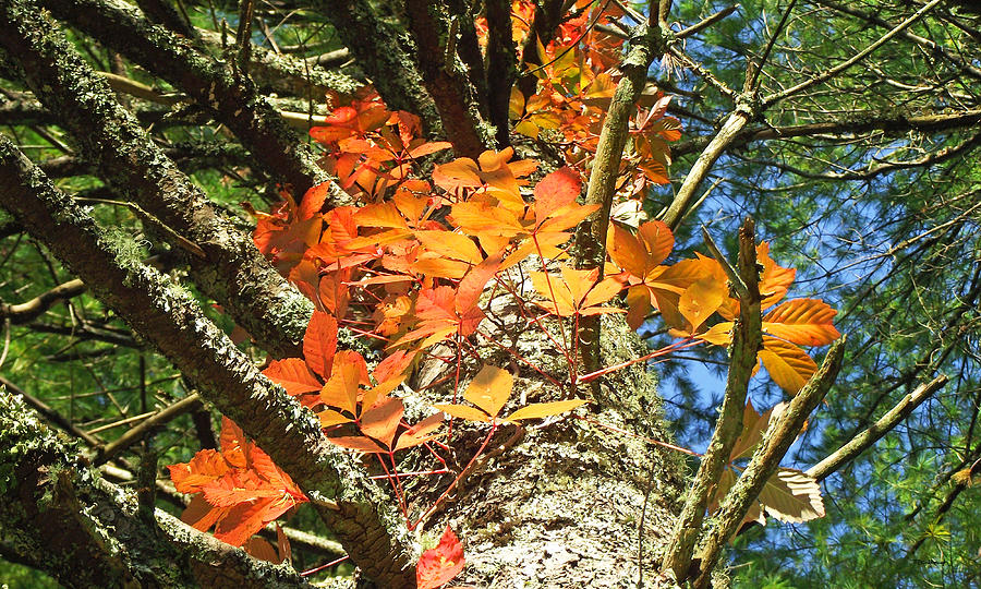 Duane Mccullough Photograph - Fall Ivy On Pine Tree by Duane McCullough
