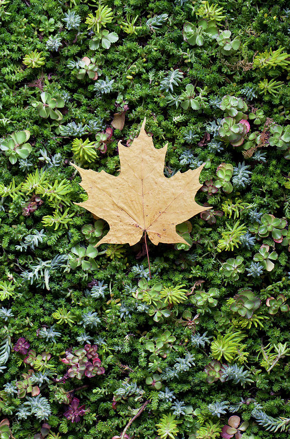 Fall Leaf On Bed Of Succulents Photograph by Chris Parsons