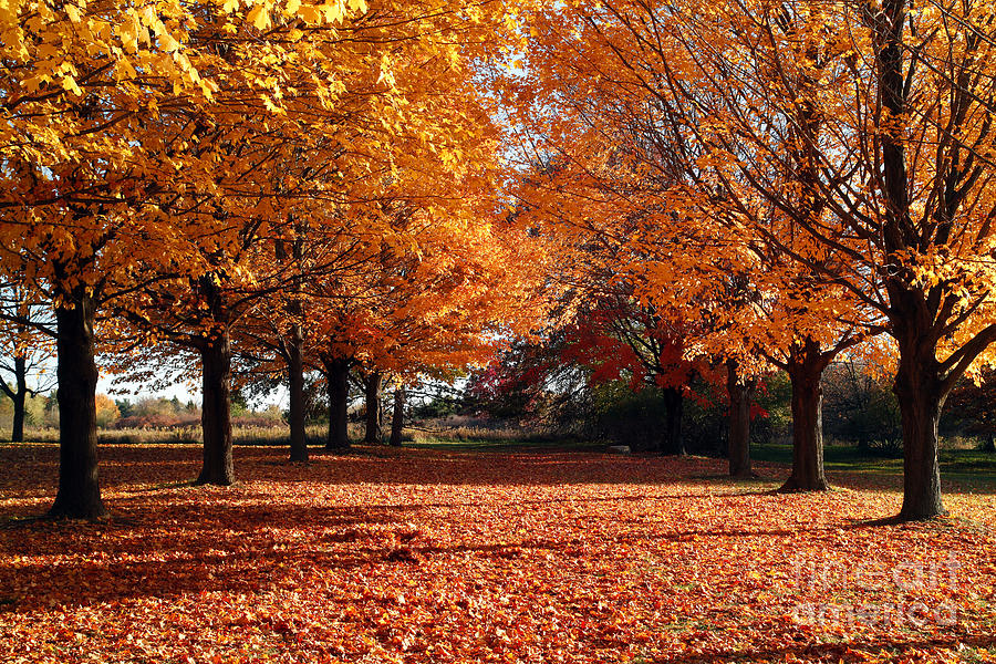 fall leaves and maple trees photograph by jeff holbrook