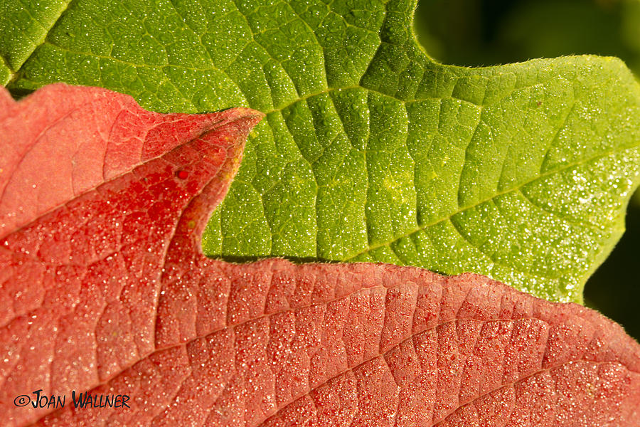 Red Photograph - Fall Leaves by Joan Wallner