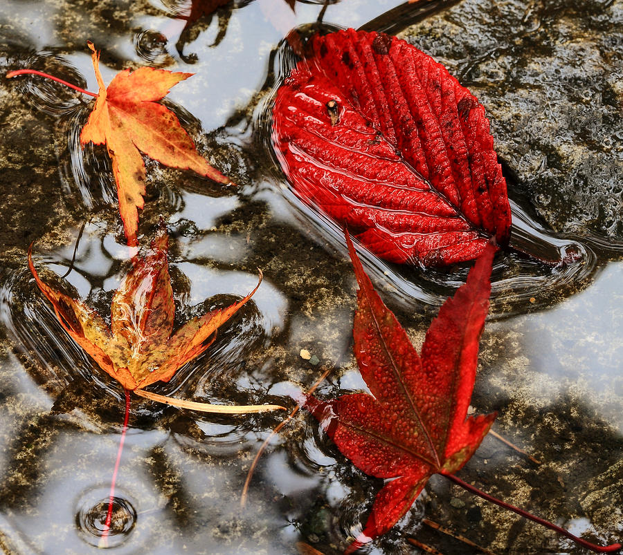 Fall Photograph - Fall Leaves by Ray Still