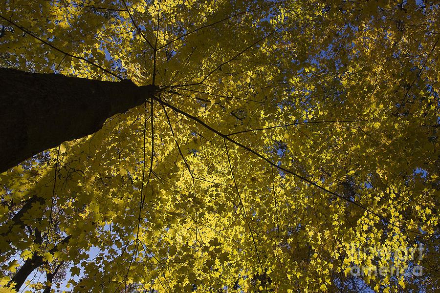 Yellow Photograph - Fall Maple by Steven Ralser