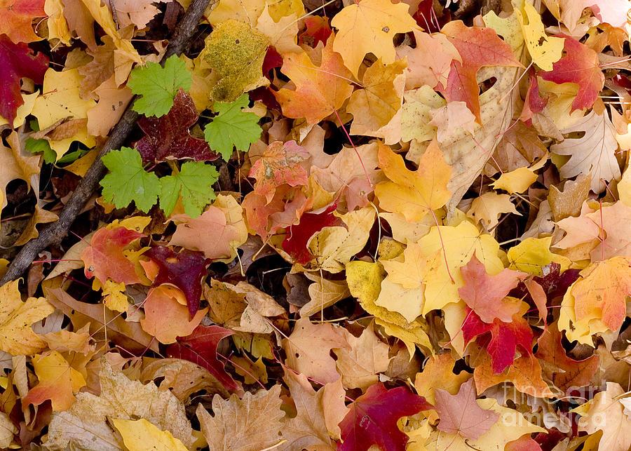 Arboretum Photograph - Fall Maples by Steven Ralser