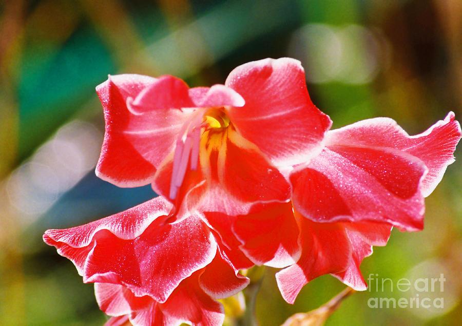 Flowers Photograph - Fall Sparkle Gladiola by Cynthia Syracuse