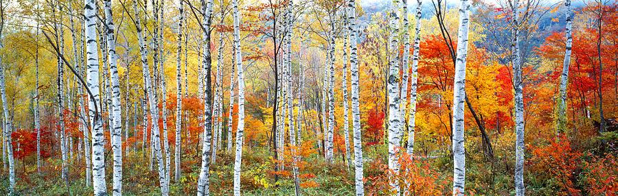Color Image Photograph - Fall Trees, Shinhodaka, Gifu, Japan by Panoramic Images