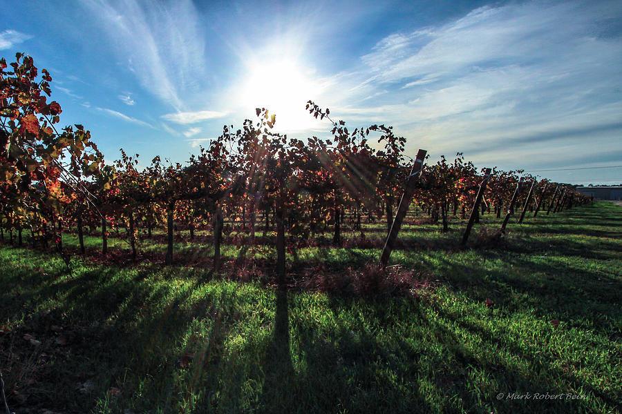 Fall Vineyard by Mark Robert Bein