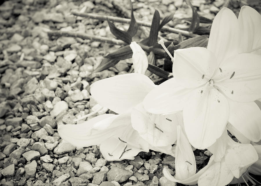 Lily Photograph - Fallen Bouquet by BandC  Photography
