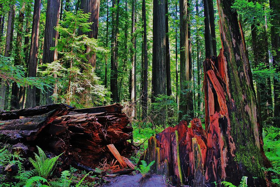 California Photograph - Fallen Giant by Benjamin Yeager