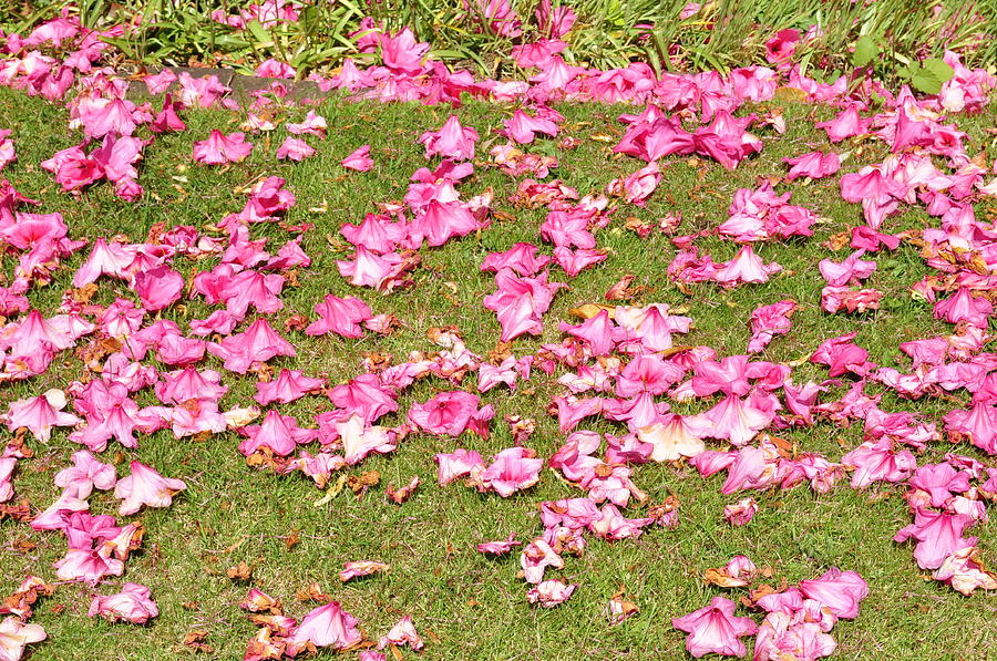 Pink Photograph - Fallen Rhododendron by Tikvahs Hope