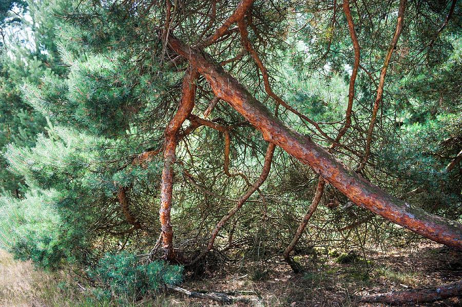 Netherlands Photograph - Falling Pine Tree In Veluwe National Park. Netherlands. by Jenny Rainbow