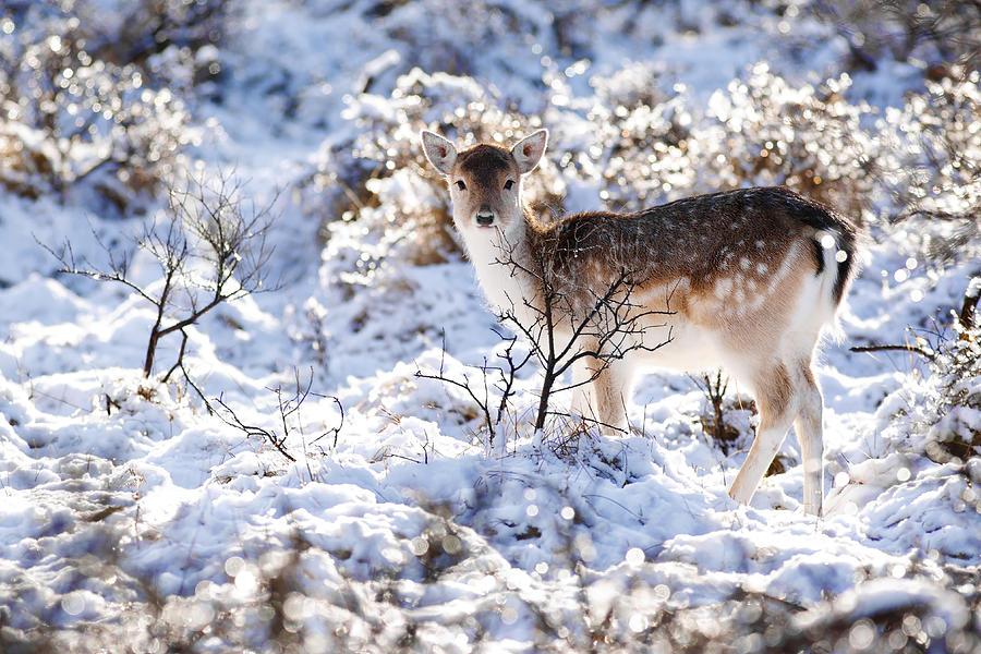 Fallow Deer Photograph - Fallow Deer in Winter Wonderland by Roeselien Raimond