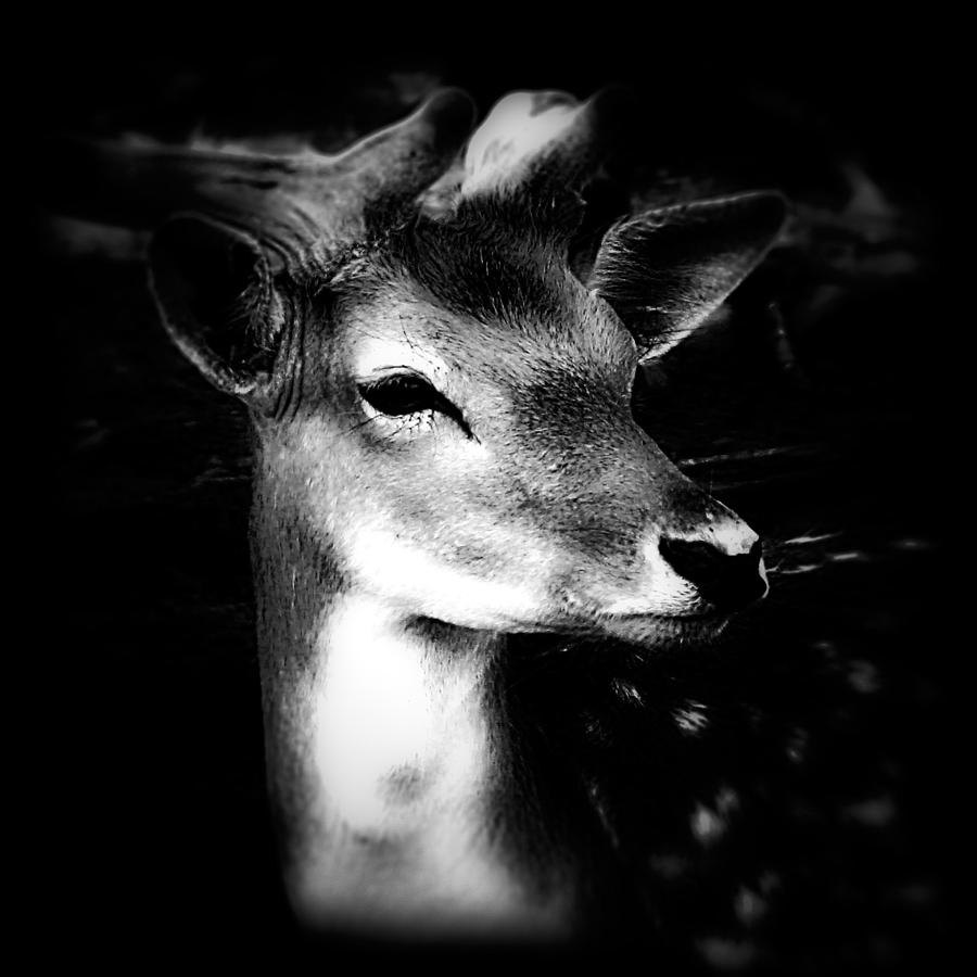 Fallow deer portrait black and white by femina photo art by maggie