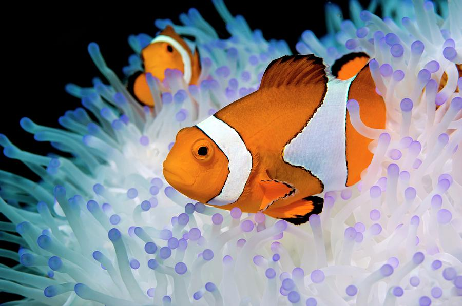 Animal Photograph - False Clown Anemonefish by Georgette Douwma/science Photo Library