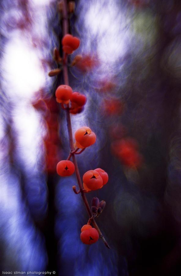 Wild Fruit Photograph - false Solomons seal fruit by Isaac Silman