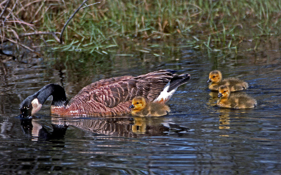 Goose Photograph - Family Affair by Skip Willits